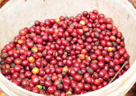 robusta berries in bucket  photo