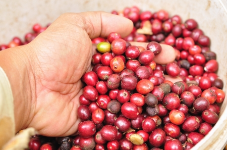 robusta berries in hand  photo