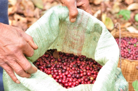 robusta bayas en una bolsa de pl�stico photo