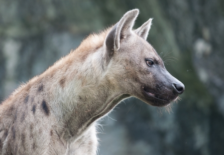 spotted hyena photo