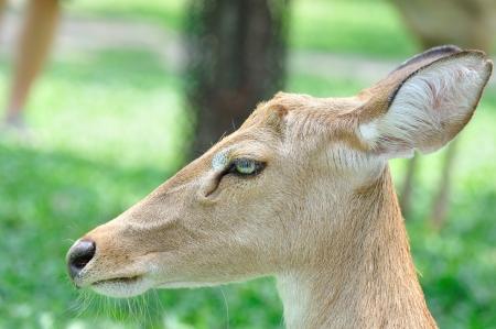 close up deer face Stock Photo