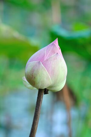 calyxes: pink lotus