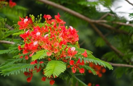 fabales: Splendid Gulmohar flowers