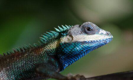 lacerta viridis: Blue lizard,lacerta viridis