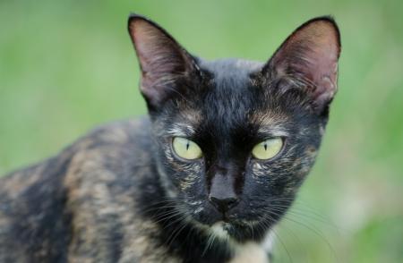 felis silvestris catus: Head of a sitting cat,with alert look