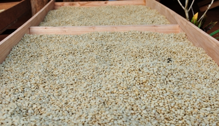 drying coffee beans in the sun  photo