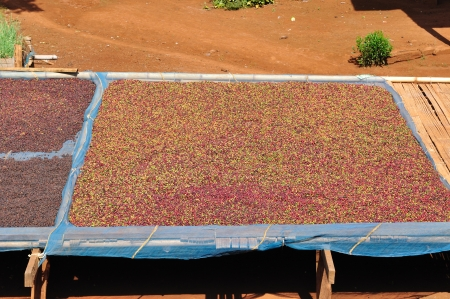 drying red berries coffee in the sun