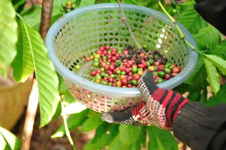 robusta coffee berries in basket  photo