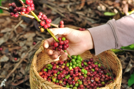 planta de cafe: Cierre de frutos rojos granos de caf? en la mano agricultor Foto de archivo