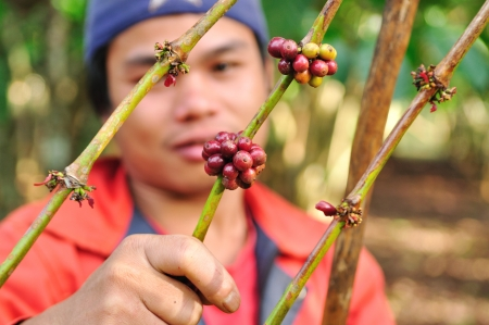 SALAVAN,LAO P D R - MARCH 2 ; Unidentified coffee farmer is harvesting coffee berries in his coffee farm at vangyawn village,March 2,2013,Lao Ngam,Salavan, Lao p d r