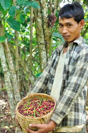 SALAVAN,LAO P D R - MARCH 2 ; Unidentified coffee farmer is showing his coffee berries in basket at vangyawn village,March 2,2013,Lao Ngam,Salavan, Lao p d r