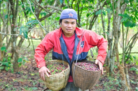 SALAVAN,LAO P D R - MARCH 2 ; Unidentified coffee farmer is showing his coffee berries in baskets at vangyawn village,March 2,2013,Lao Ngam,Salavan, Lao p d r