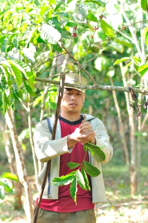 SALAVAN,LAO P D R - MARCH 2 ; Unidentified coffee farmer is harvesting coffee berries in his coffee farm at vangyawn village,March 2,2013,Lao Ngam,Salavan, Lao p d r