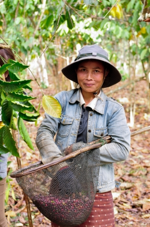 SALAVAN,LAO P D R - FEBRUARY 2 ; Unidentified woman is harvesting coffee berries in her coffee farm at vangyawn village,February 2,2013,Lao Ngam,Salavan, Lao p d r