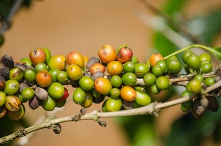 Arabica coffee berries on plant  photo