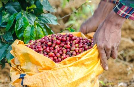 Arabica coffee berries in basket   photo