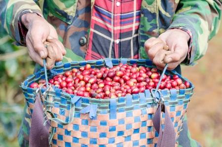 arabica: Arabica coffee berries in basket