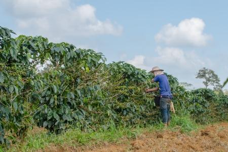 Harvesting arabica coffee berries