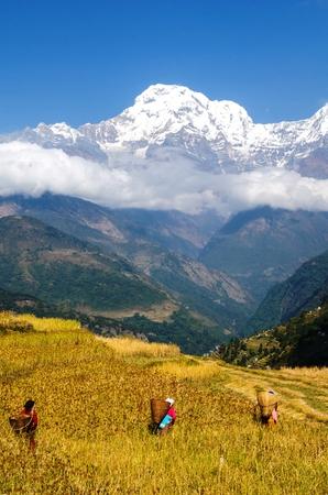 mijo: Havesting mijo en Nepal
