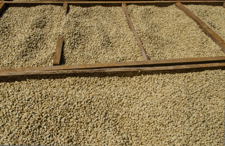 Drying  coffee beans in the sun