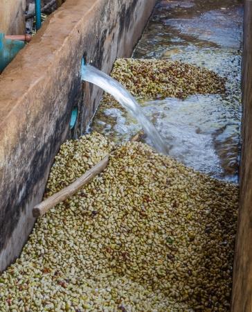 koffiebessen na de gisting-en-wash-methode van natte verwerking