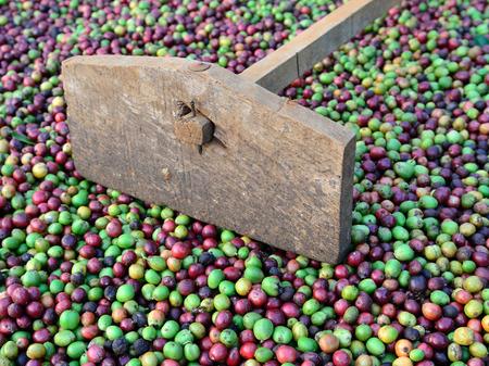harrow: fresh coffee berries and harrow Stock Photo