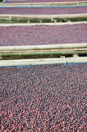 drying red berries coffee in the sun photo