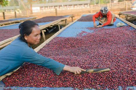 SALAVAN, LAO PDR - JANUARY 26  Unidentified coffee farmers are drying red coffee berries at Ba-an Dong village, January 26, 2014, Lao Ngam,Salavan, Lao PDR