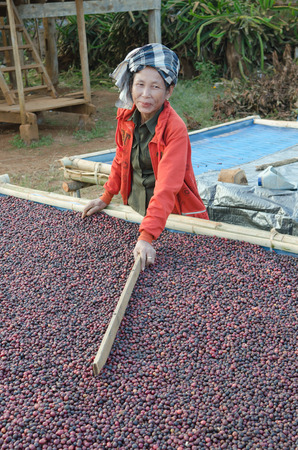 SALAVAN, LAO PDR - JANUARY 26  Unidentified coffee farmer is drying red coffee berries at Ba-an Dong village, January 26, 2014, Lao Ngam,Salavan, Lao PDR