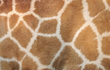 Echt leder huid van de giraf