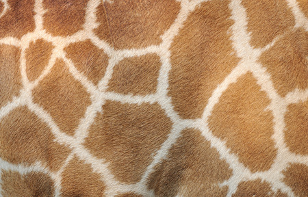 Genuine leather skin of Giraffe