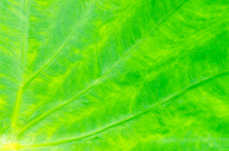nervation: close up texture of the taro leaf Stock Photo