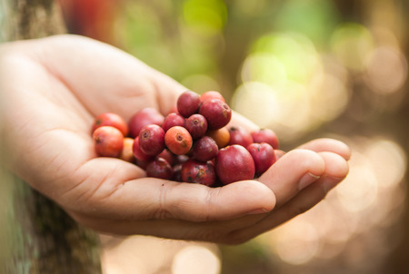Close up red berries coffee beans on hand photo