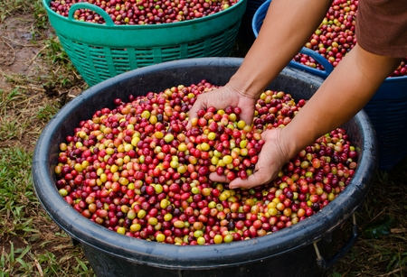 coffee harvest: arabica coffee berries with agriculturist hands
