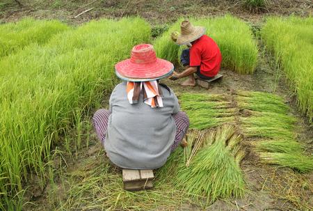seedlings: rice seedlings