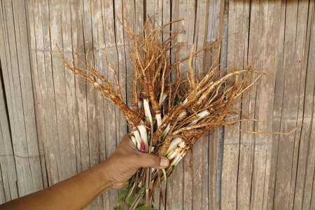 Angelica sinensis on hand