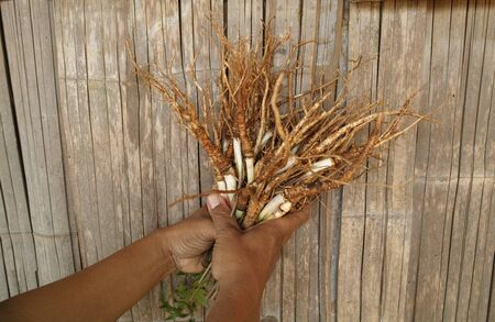 Angelica sinensis on hands Stock Photo