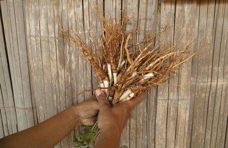 angelica sinensis: Angelica sinensis on hands Stock Photo