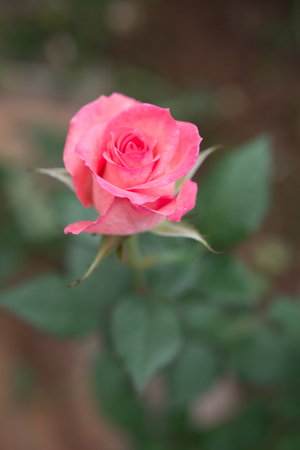 Pink rose with leaves in the garden