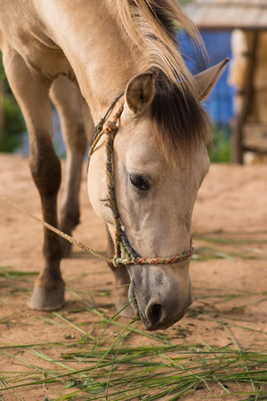horse collar: The head shot of a horse Stock Photo