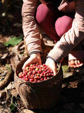 food drink industry: harvesting arabica coffee berries with agriculturist hand in Lao pdr Stock Photo