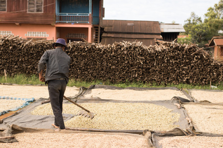 coffee farmer dragging the fermented beans with harrow