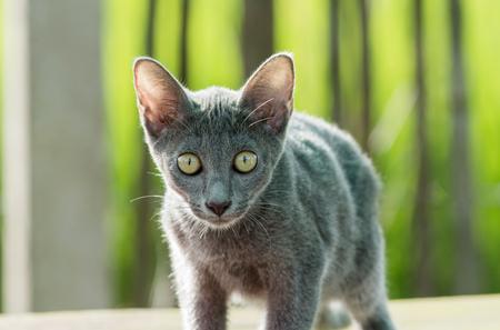 korat: blue cat Stock Photo