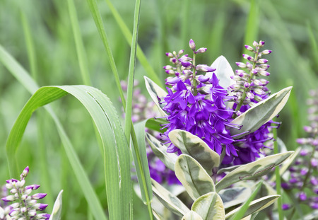 the flower of the Veronica in the garden, in the grass.