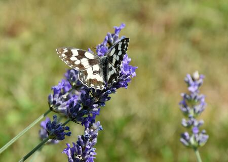 butterfly stops on the lavender colored flowers. Stock Photo