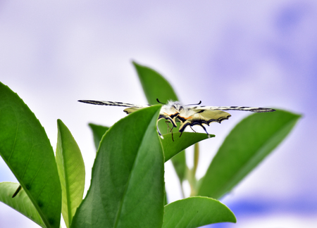 butterflies nectar: the butterfly on the waxy leaves of laurel.