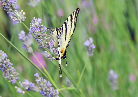 natures: butterfly sucking nectar from flowers of lavender. Stock Photo