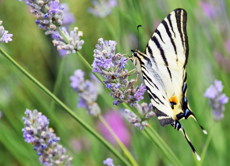 nectar: butterfly sucking nectar from flowers of lavender. Stock Photo