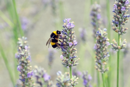 bombus: Bumblebee is supplied nectar on lavender flowers. Stock Photo