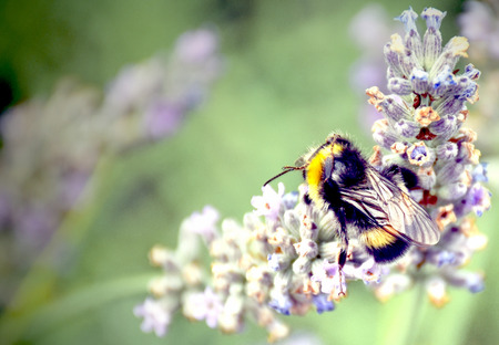 nectar: Bumblebee is supplied nectar on lavender flowers. Stock Photo
